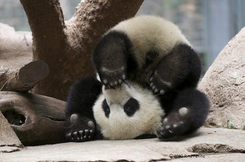 Cute panda picture